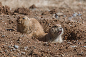 Prairie Dogs in the Wichita Mountains Wildlife Refuge