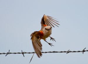 Oklahoma's Scissor-Tailed Flycatcher