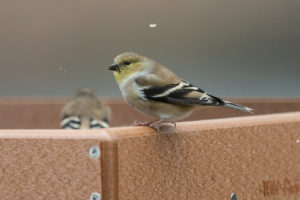 Backyard Birds - American Goldfinch