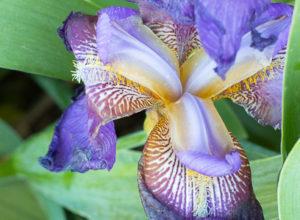 Iris Upon Iris
